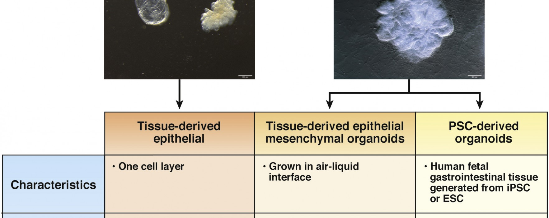 What can we do with Gastrointestinal Organoids?